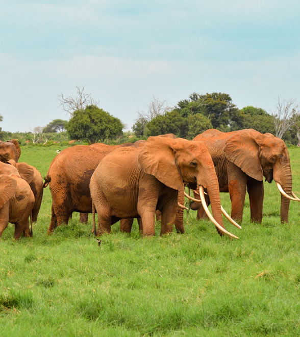 2_days_kenya_safari-tsavo-east-saltlick1
